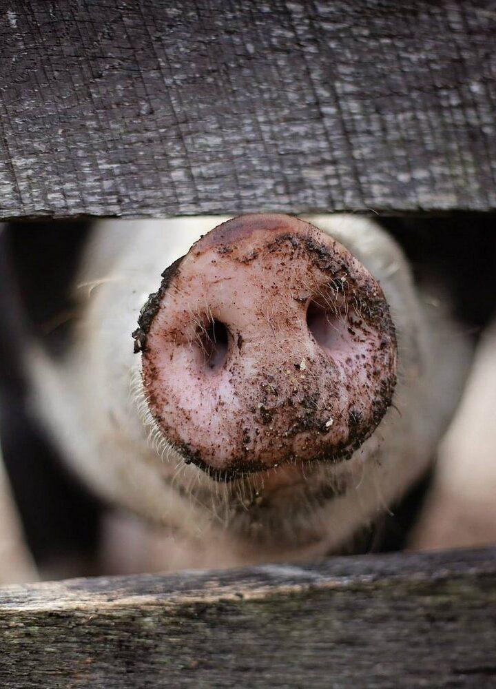 Hodowle narządów w świniach