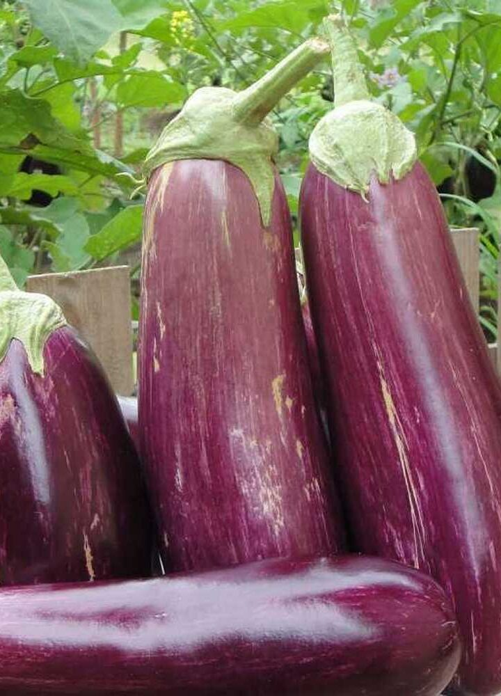 Bakłażan – od rośliny ozdobnej na stół