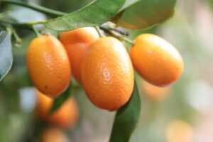Kumkwat / Kumquat